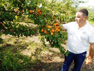 Pomi fructiferi -cais (abrikos ) Pinkot ,Big Red ,Nadejda , Ananasovii ...