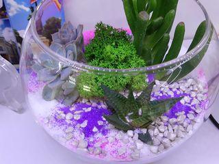 Compozitii din flori vii suculente in vase de sticla. Avem in stoc si la comanda,diferite dimensiuni