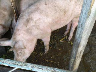 Свиньи Александры