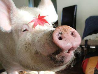 Cumparam porci in greutate in viu, m.Balti