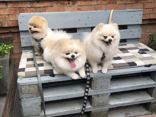 Три шикарных шпица , москвичи для вязки