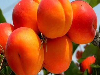 Куплю абрикосы для экспорта!