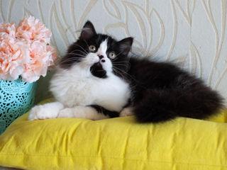 Шотландские котята из питомника Frisky Friend