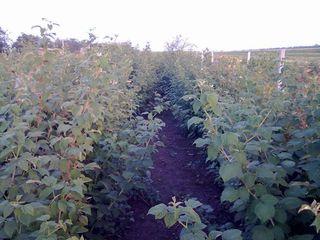Сажэнцы малины, адни из самых лучых сартов крупнаплодные,14 сартов по харошым ценам..