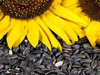 Vind floarea-soarelui pentru ulei