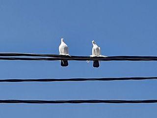чернохвостые голуби