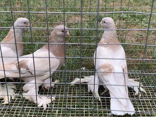 Porumbei.голуби