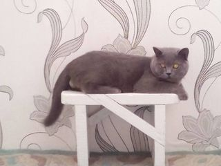 Кот Британец (Норман) Ищет кошку для связки