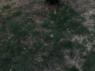Vând câine