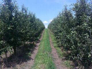 Livadă intensivă de mere