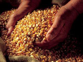 Vind porumb Calarasi 2.5 lei pe kg