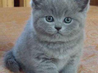 Британские плюшевые малыши-голубые, белый вислоух,чёрный персик и чёрный экзотик-экстримал-1,5мес
