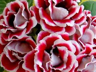 Compania diolsem srl ofera seminte profesionale de flori sakata la cele mai avantajoase preturi!