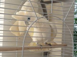 Попугай какаду соломонский