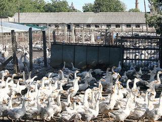 Finantam crescătorii de păsări