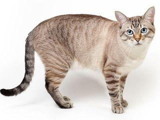 Ищем кота для вязки!