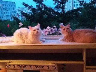 Белый кот пушистый с жёлтыми глазами и персиковая кошечка.