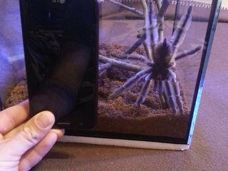 Самка древесного паука птицееда Psalmopoeus cambridgei