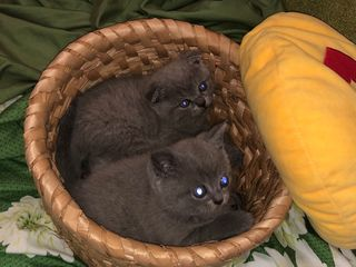 Супер цена! Шотланские котята с документами!!