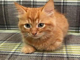 Маленький пушистый огненно рыжий  котенок.