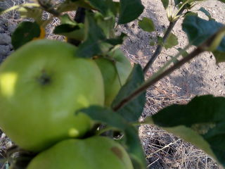 Продам сад 3,5 га яблоня(айдаред,голдан,симиренко)8-й год,0,5га слива     20км от города,    11500