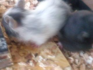 gata de vinzare.. hamsteri sirieni,, 1 luna