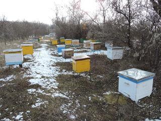 Familii de albine