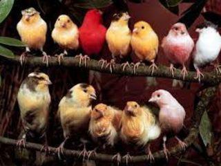 Лучший осенний  подарок к школе   :поющие канарейки,амадины и др. птицы , клетки, корм.