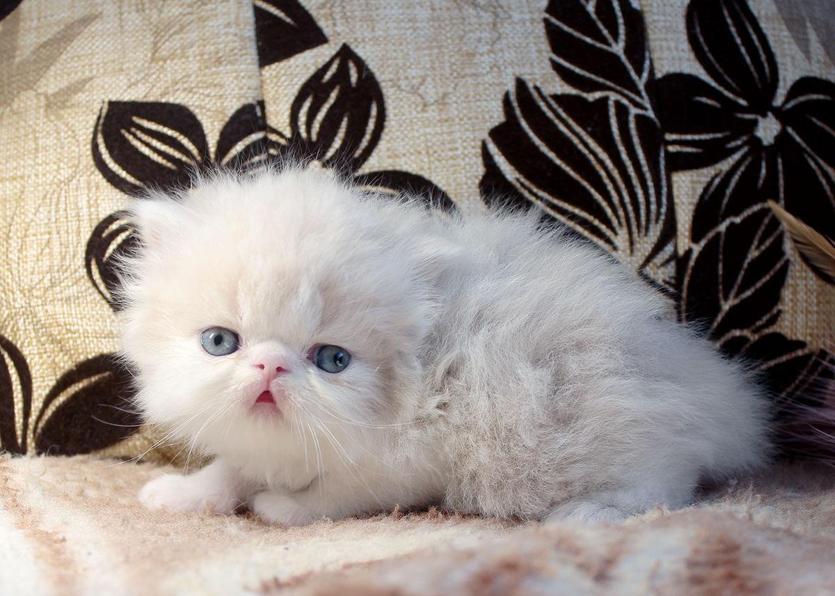 картинки маленький персидский котенок образуется