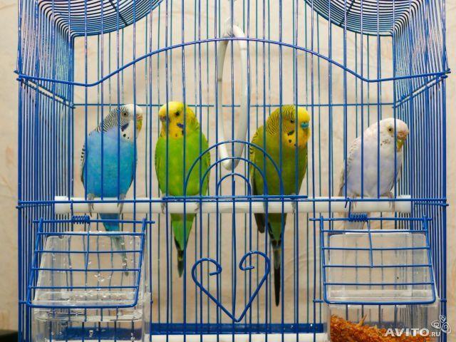 Можно ли сажать двух попугаев в одну клетку 35
