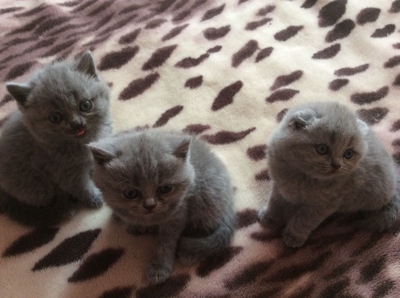 камней недельные котята шотландские фото интерьер мужской спальни