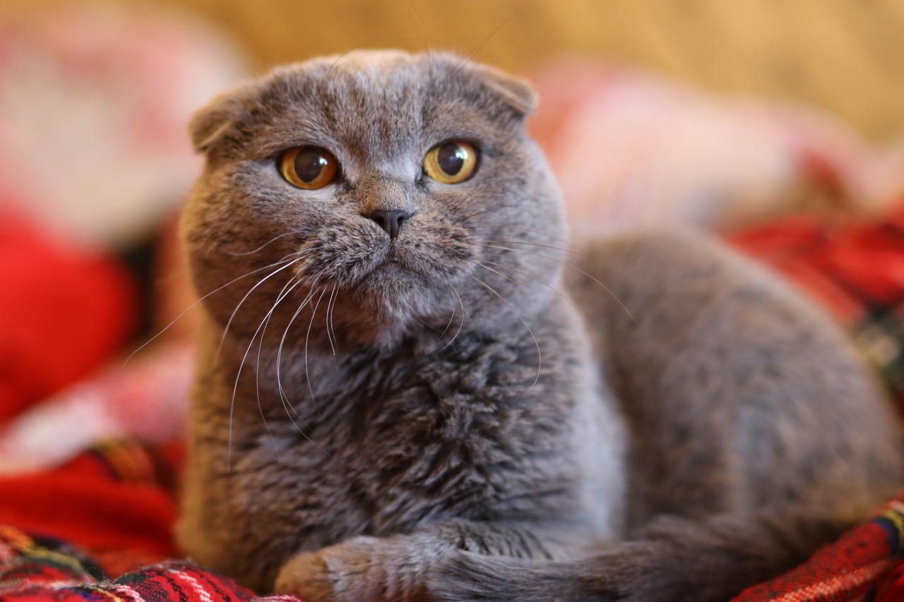 картинки шатланского кота двухконтурные котлы для
