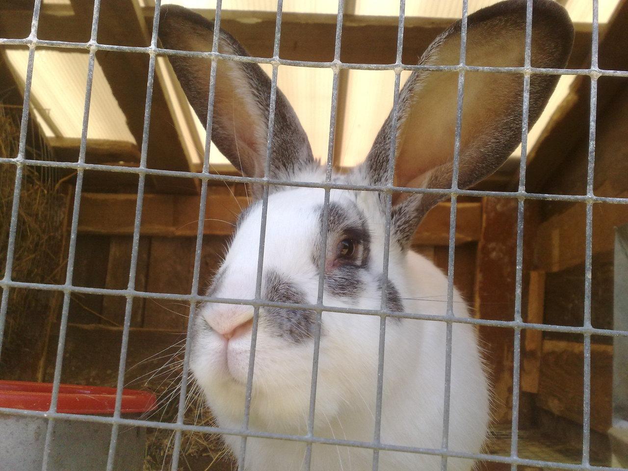 Разведение кроликов в домашних условиях для начинающих 81