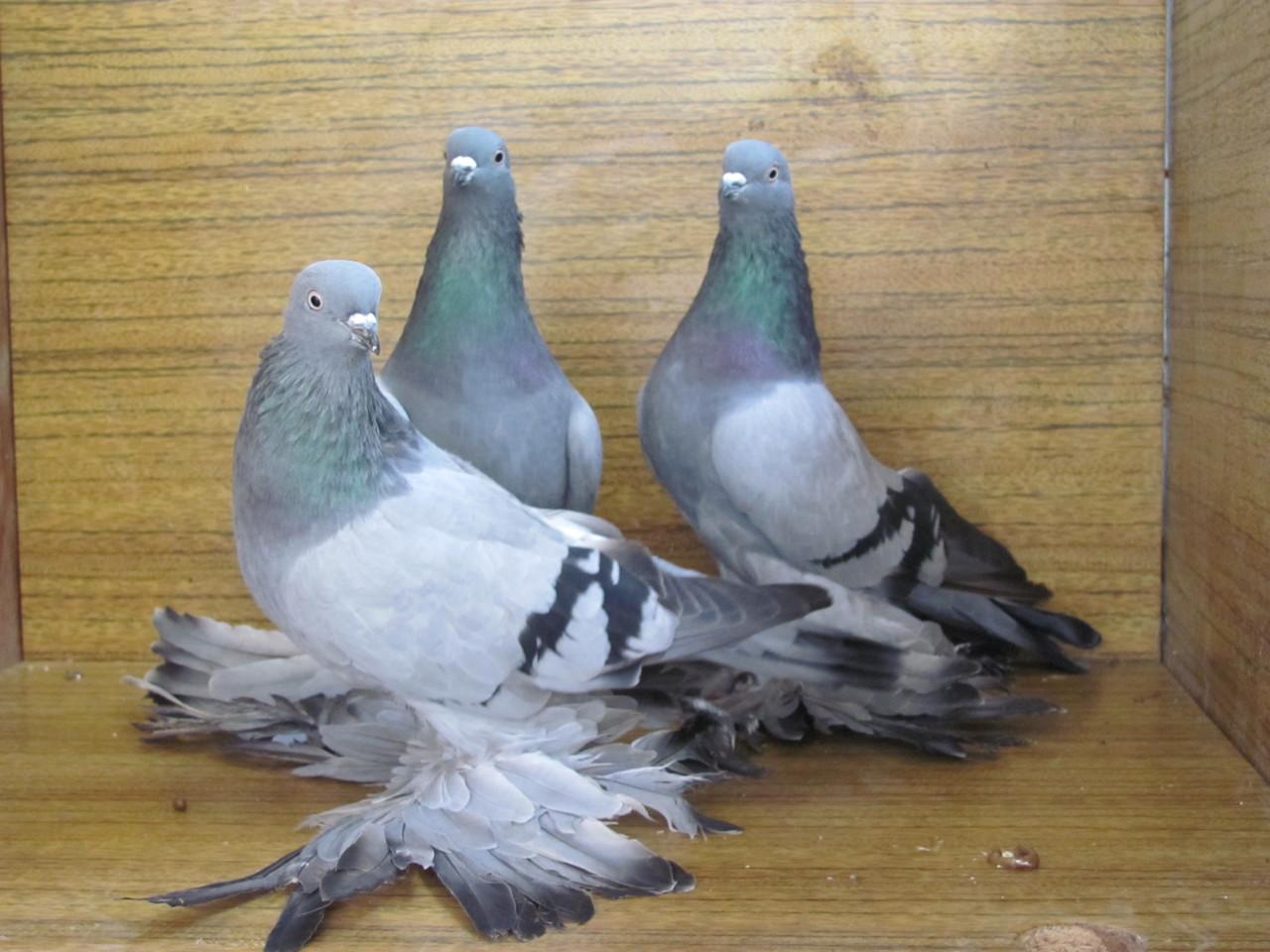 уже виды бакинских голубей фото такое фреска