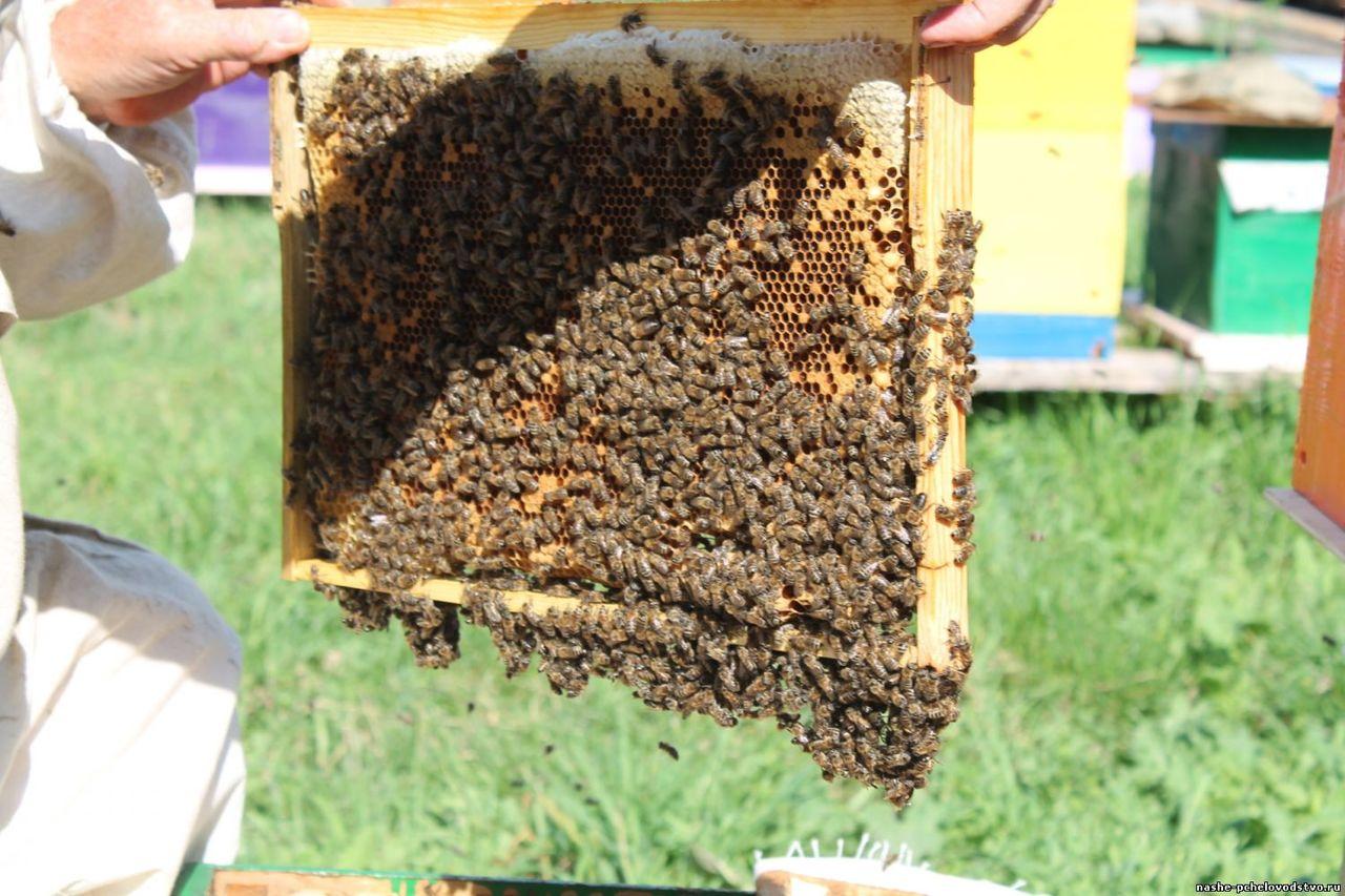 Пчеловодство. как сделать отводок