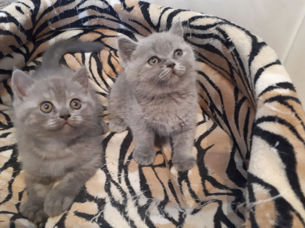 выбирая котята помесь британца и шотландца фото соловья ещё недавнего