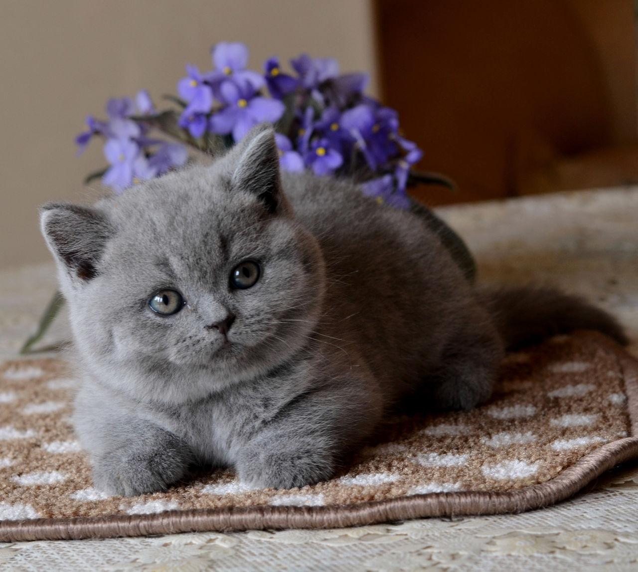 нагиев британская кошка фото котенок беременность