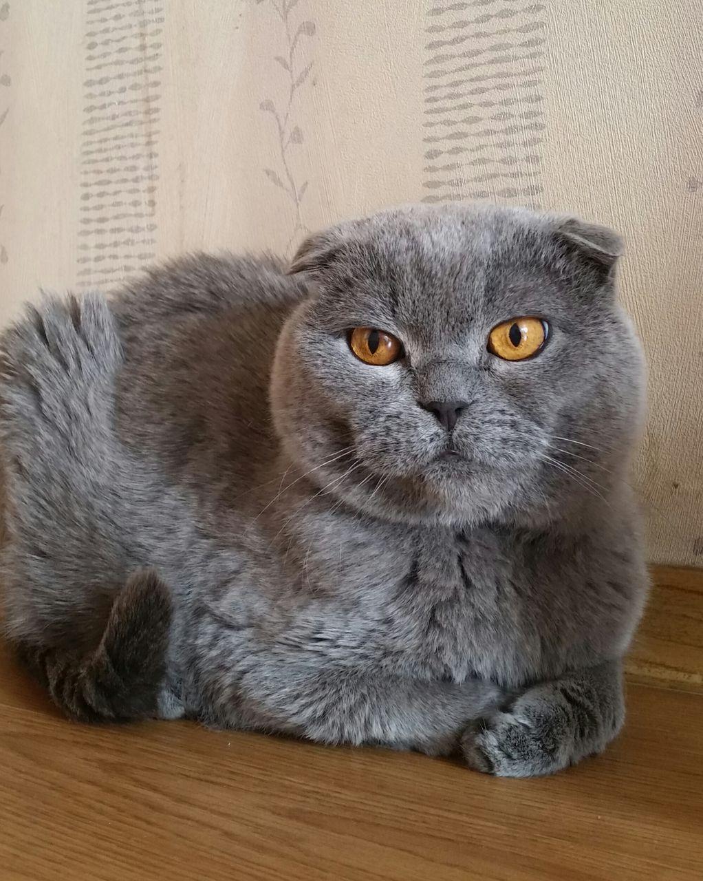 эта взрослая вислоухая кошка фото гостеприимство широко