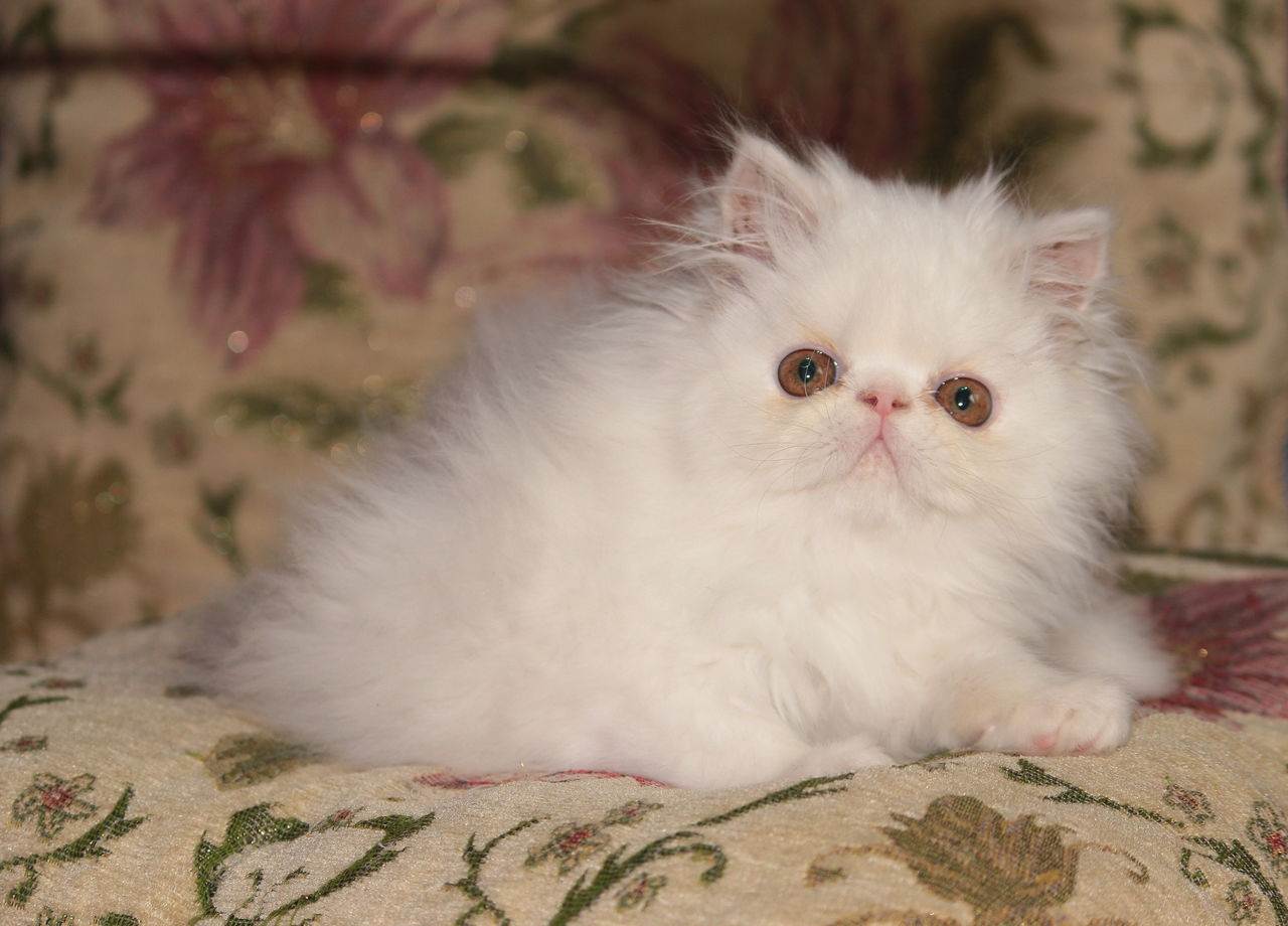 Фото вислоухих котят из питомников даже