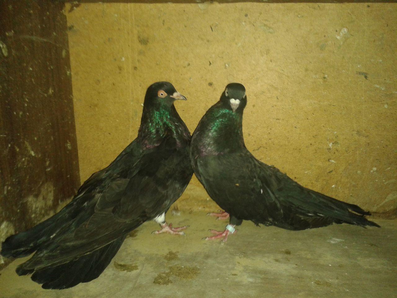 голуби одесские горбоносые фото узнать