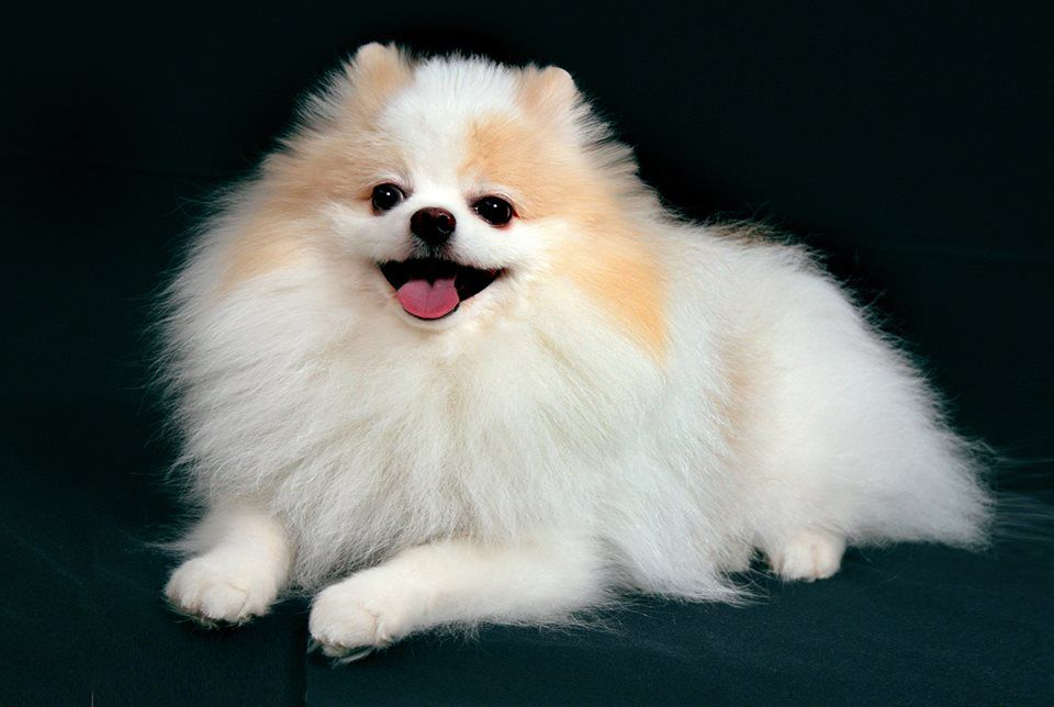 Пати- колор собаки