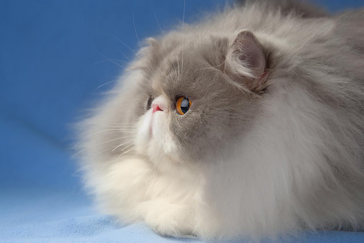 Души, персидский кот в картинках