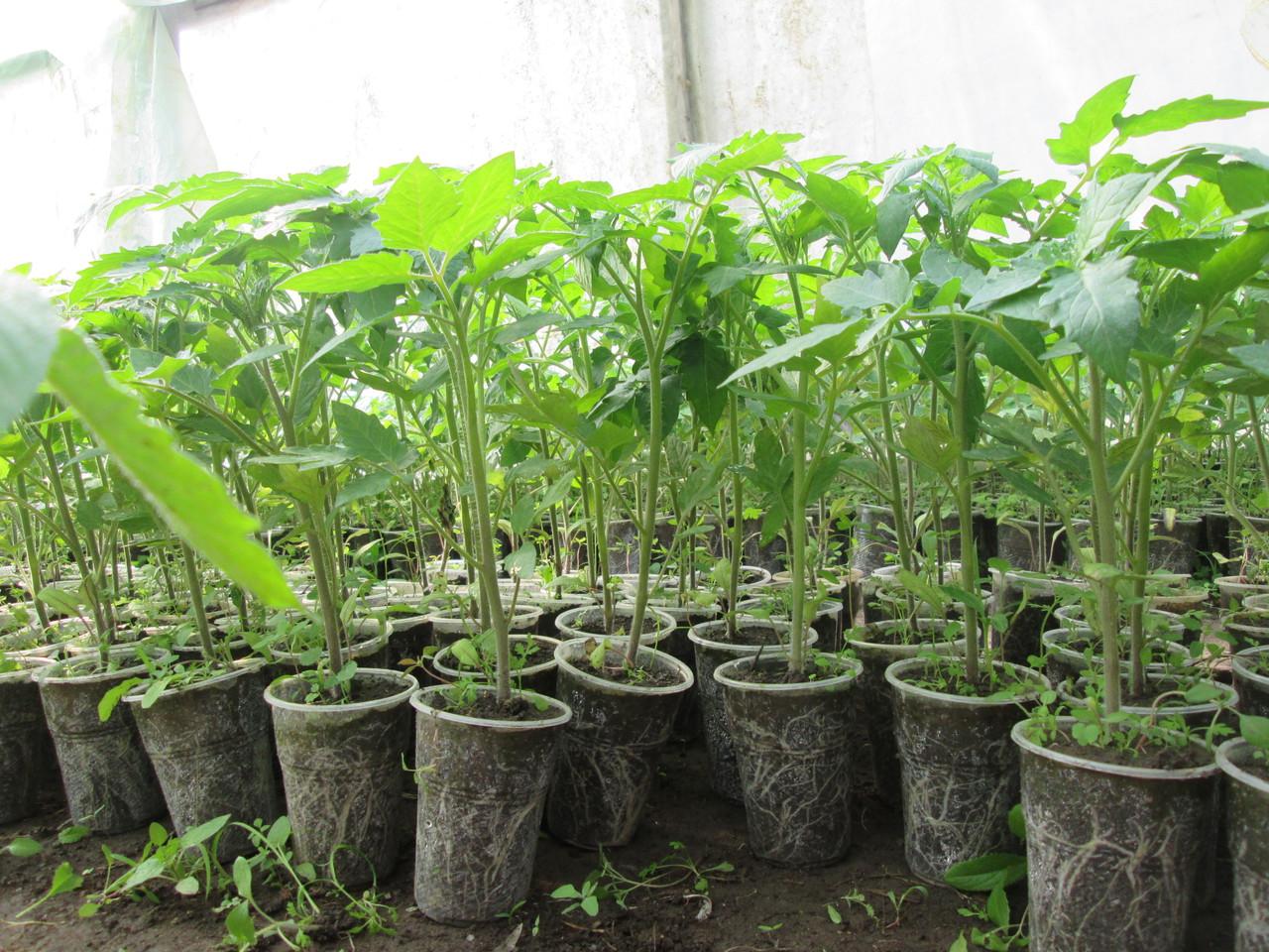 Как выращивать рассаду - когда и как сажать, посев и 42