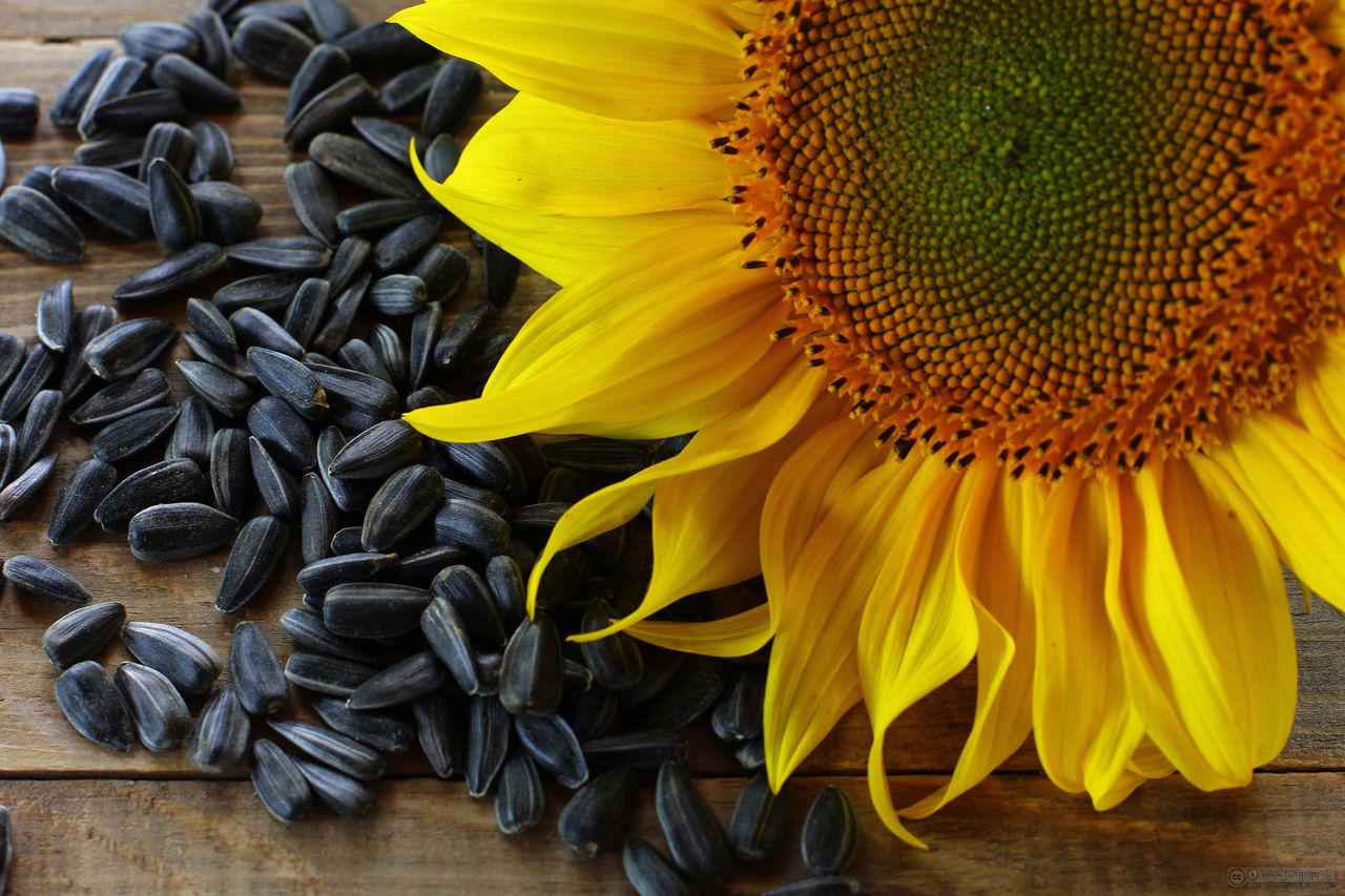 Подсолнух : когда и как собирать семена подсолнечника 79