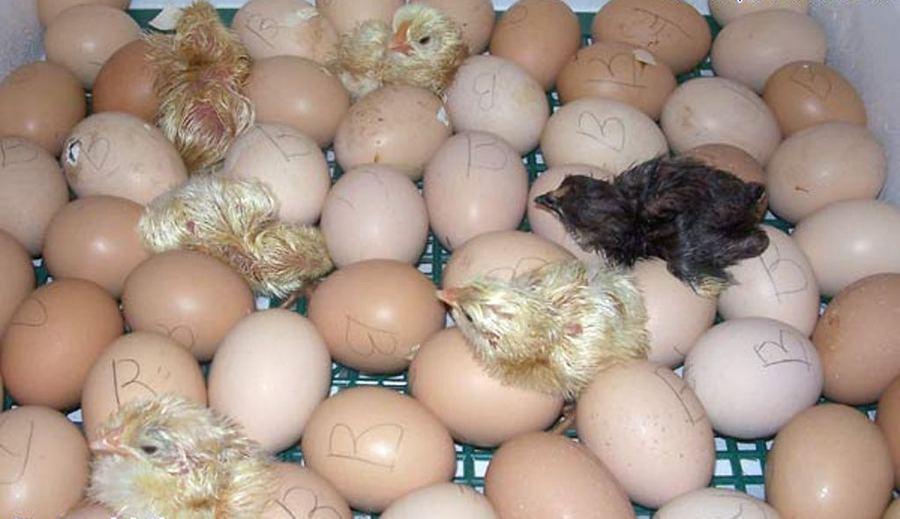 Выводим цыплят в домашних условиях