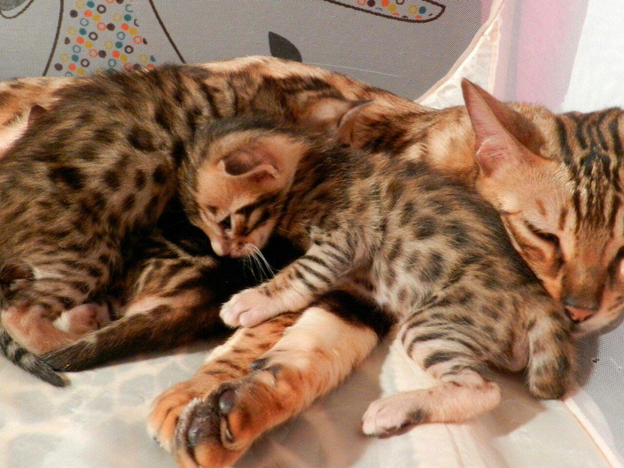 Бенгал кошка фазинг фото