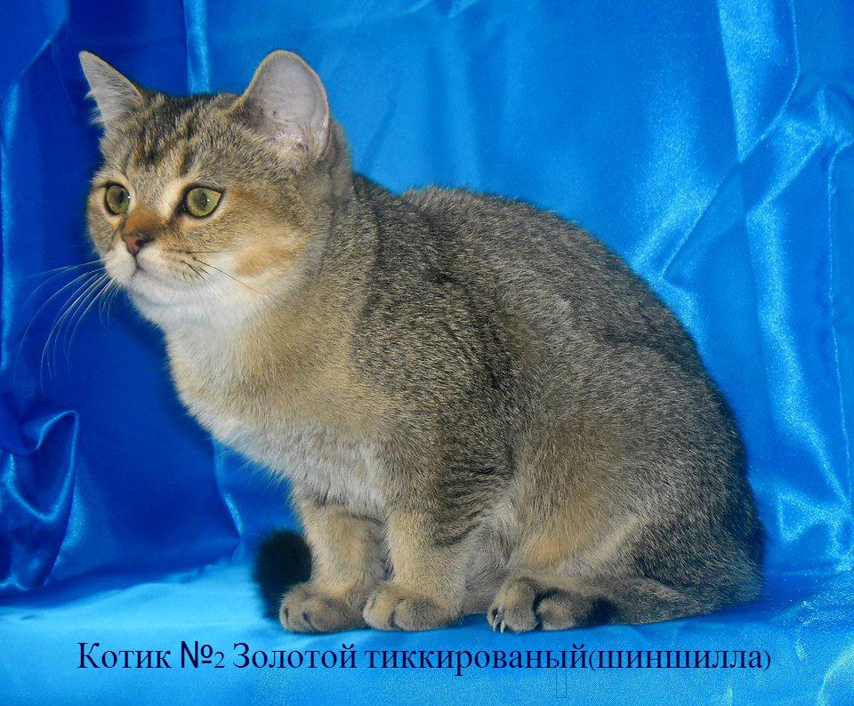 Британские серебро шиншиллы котята купить недорого