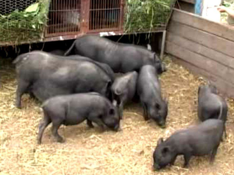 Разведение вислобрюхих вьетнамских свиней в домашних условиях - Danetti.Ru