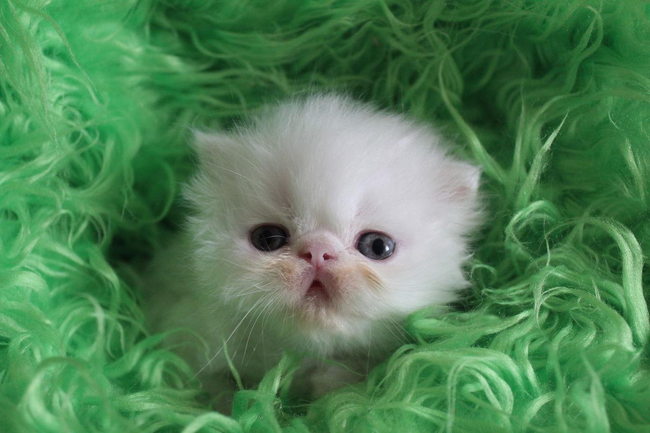 картинки маленький персидский котенок русской балерины михалине