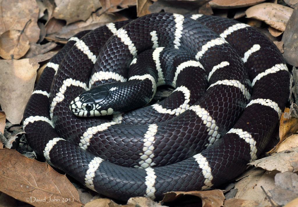 селах, фото змеи королевская змея мир, магнето